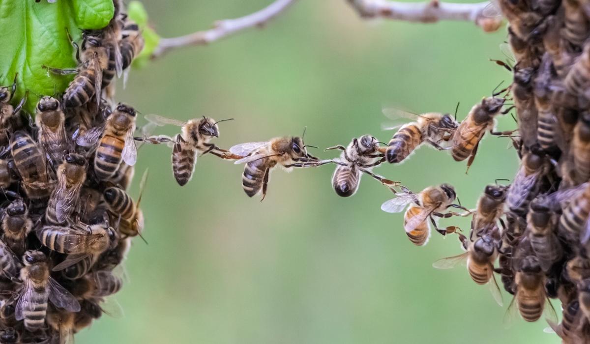 Smart app frun Beescanning ska rädda våra bin. Foto: Getty Images